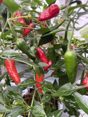 chillies grow super well