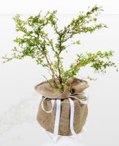 Dwarf cherry trees live long lives in pots. www.treesdirect.co.uk