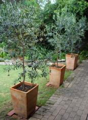 Olive trees grow well in pots in the British climate