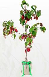 Good for pots ...Cornus Florida. www.treesdirect.co.uk