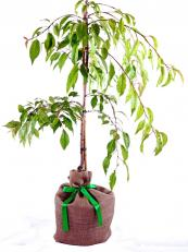 Weeping cherry tree, good for pots. www.treesdirect.co.uk