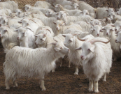 Cashmere goats. Their hair is super soft and hard wearing - and moths LOVE it