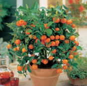 If roses are too schmalzy how about giving (or asking for) an orange tree. They're easy to look after and yield pretty, albeit inedible miniature fruits