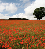 Field of poppies - from £86