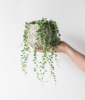 String of pearls is a trailing succulent ideal for the macramé holder treatment