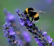 bees LOVE LOVE LOVE lavender