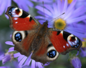 The peacock butterfly, native to the UK