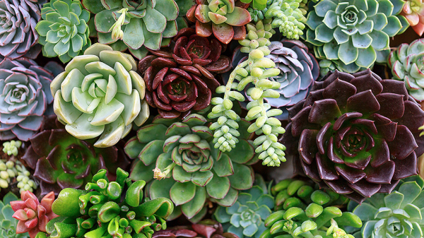 Succulents are fat leafed plants..they're plump with water